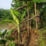 Dampak Banjir : Bronjong Sungai Amblas